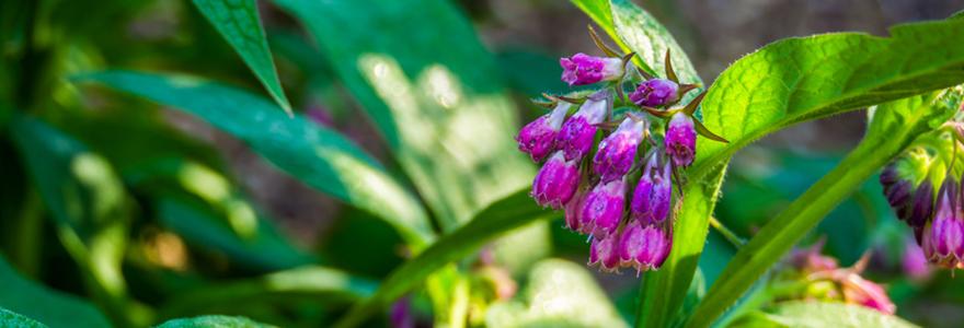 Purin de consoude au jardin