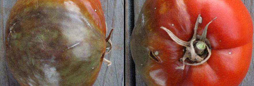 Cul noir de la tomate